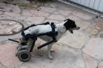 כלבה בכיסא גלגלים